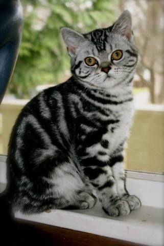 Image of black and gray American Shorthair silver tabby