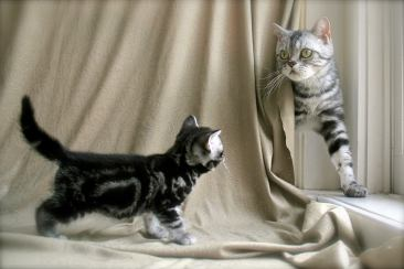 Image of Mother cat peeking out from behind backdr during kitten photo shoot