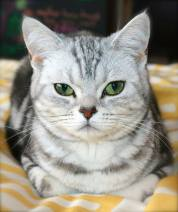 Image of Silver faced American Shorthair Classic silver tabby lying on yellow bedspread
