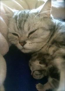 Image of silver tabby American Shorthair cat sleeping with newborn kitten