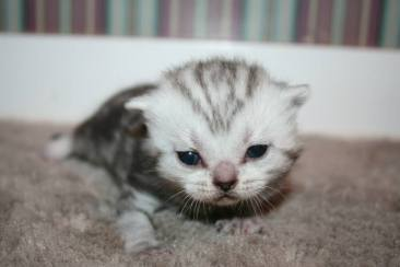 Image of Newborn silver faced American Shorthair Silver tabby kitten