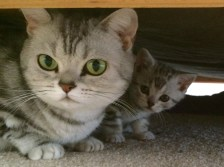 Image of Mother American Shorthair silver tabby cat and kitten peeking out from under bed