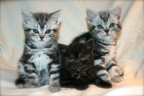 Image of three american shorthair kittens silver tabby and black smoke