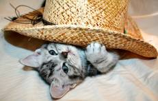 Image of American Shorthair silver tabby kitten peeks out from underneath cowboy hat