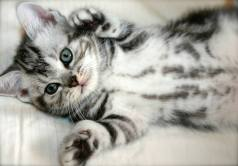 Image of American Shorthair silver tabby kitten with spotted belly lying on back with paws in the air