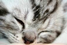 Image of Close up of sleeping American Shorthair silver tabby kitten