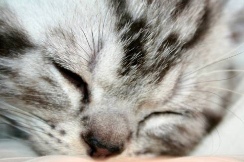 Image of Close up of sleeping American Shorthair silver tabby kitten