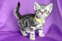 Image of silver tabby American Shorthair kitten with yellow collar