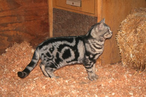 Image American Shorthair classic silver tabby bullseye tail rings right side