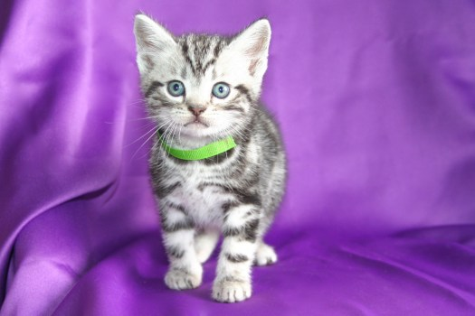 Image of silver tabby American Shorthair kitten with green collar