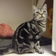Image of gray American Shorthair Female classic silver tabby with emerald green eyes