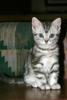 Image of American Shorthair Silver tabby kitten