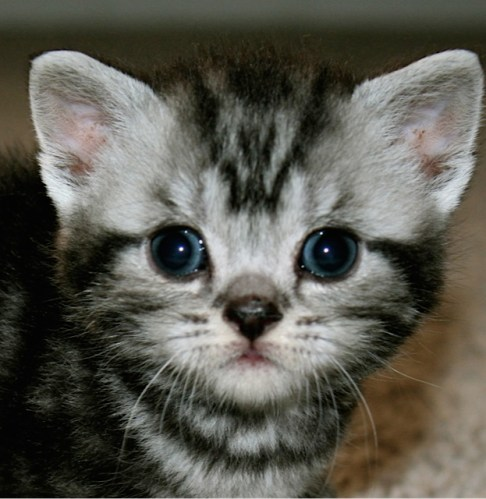 Close up face image of American Shorthair silver tabby kitten
