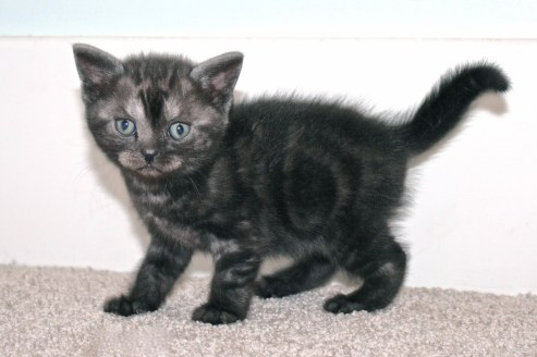 Image of Black Smoke American Shorthair Kitten