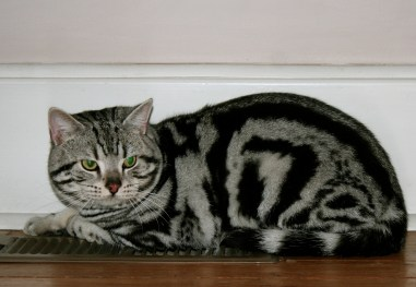 Image of classic black and silver tabby American Shorthair cat lying on heat register