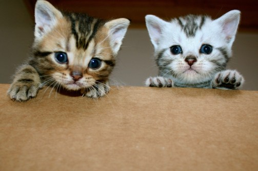 Brown and Silver Tabby American Shorthair kittens in box