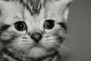 Black and white close up image of silver tabby American Shorthair Kitten