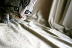 Image of gray American Shorthair silver tabby kitten ready to pounce