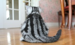 Image of gray silver tabby American Shorthair kitten back view showing dorsal stripes