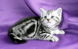 Image of American Shorthair silver tabby kitten on purple backdrop