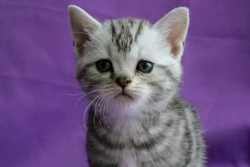 Image of American Shorthair silver tabby kitten in on purple backdrop
