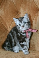Image of American Shorthair silver tabby kitten with red checkered ribbon