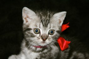Image of American Shorthair silver tabby kitten with red ribbon