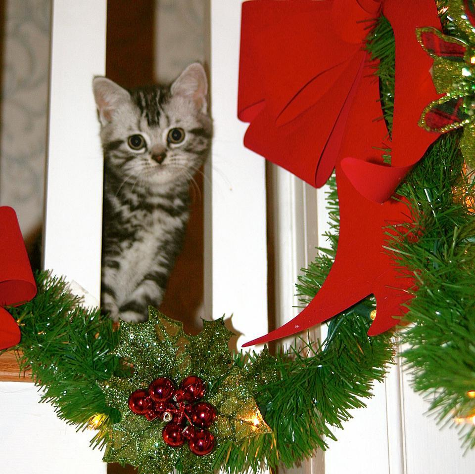 Image of American Shorthair silver tabby christmas kitten on staircase