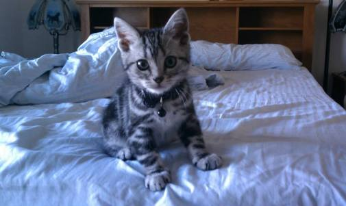 Image of an gray American Shorthair silver tabby kitten sitting on a bed