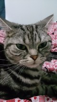 Close-up Image of gray American Shorthair silver tabby cat face