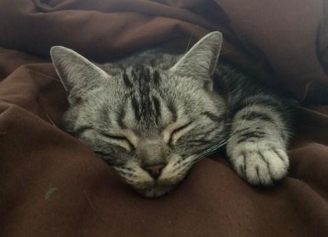 Image of American Shorthair silver tabby cat snuggled into brown blanket sound asleep
