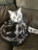 Image of American Shorthair silver tabby cat with emerald green eyes curled up on green couch