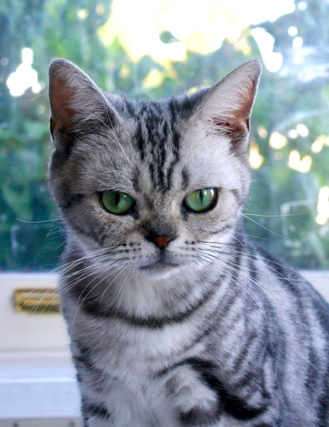 Image of American Shorthair silver tabby with emerald green eyes sitting in front of window