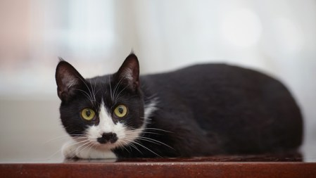 Web Image of Example of Domestic Shorthair tuxedo cat