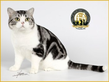 Web Image of GC BWC NW CAT LIFE MOONFACE American Shorthair silver and white tabby