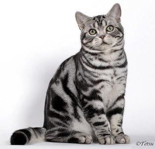Web Image of Grand champion National Winner KELLOGGS ROCK N ROLL REBEL an American Shorthair classic silver tabby