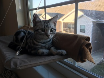 Image of silver tabby American shorthair kitten perched at window