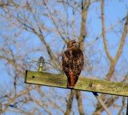Red-tail hawk perching