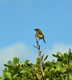 Bellbird, Kapiti