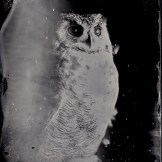 [Silver Sunbeam] Birds of Prey Tintypes - Andy Martin - 6