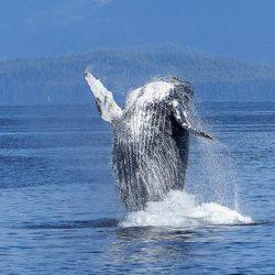 Samana whale watching