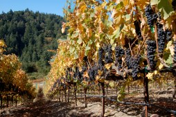 Time to pick the Pinot Noir