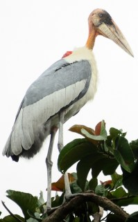 Greater_Adjutant