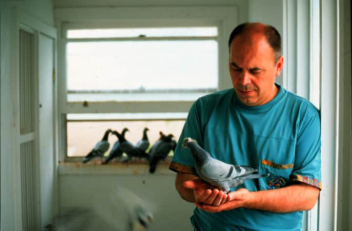 Racing Pigeon Articles by: Silvio Mattacchione