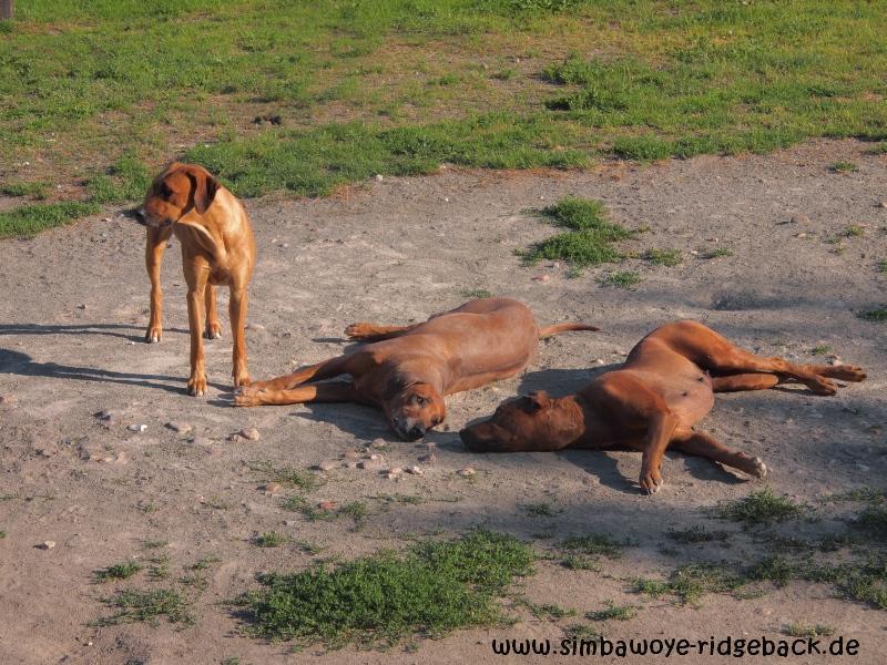Rhodesian Ridgeback Bilder - Drei Tanten und Bella....