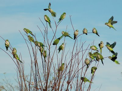 Wild parrots in a small tree - the freedom the merchant's parrot sought