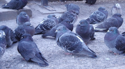 even the pigeons are cold  - photo by jeremy clarke