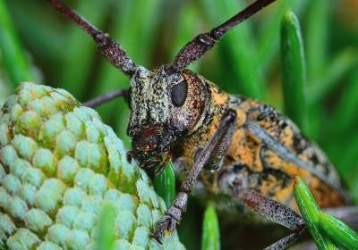 A lomos de un escarabajo: así invade el nematodo del pino los bosques ibéricos