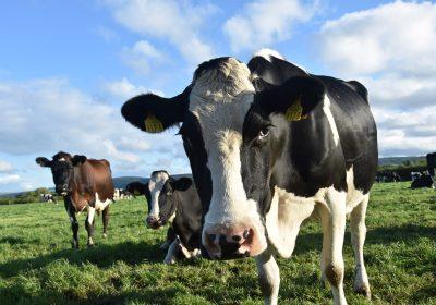 vacas demasiado grandes