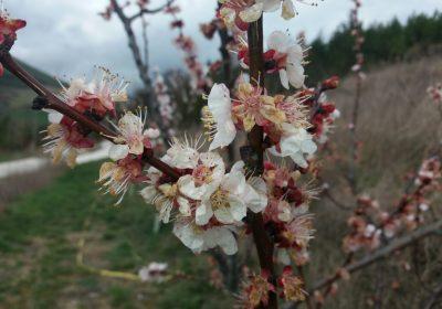 Los árboles frutales florecen 15 días antes que hace 50 años